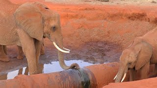 Elephants Drink Water From Leaking Pipe