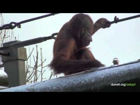 Adopt an orangutan | Jaya, the Sumatran orangutan | Animal adoption from just £3