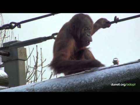 Adopt an orangutan | Jaya, the Sumatran orangutan | Animal adoption from just £3
