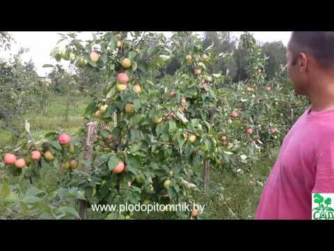 Увеличение размера яблок после нормирования урожая на яблоне.