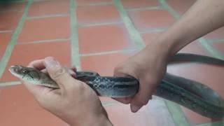 Đùa với loài rắn hung dữ,  Hướng dẫn địa điễm bẫy rắn hổ ngựa | săn bắt SÓC TRĂNG |