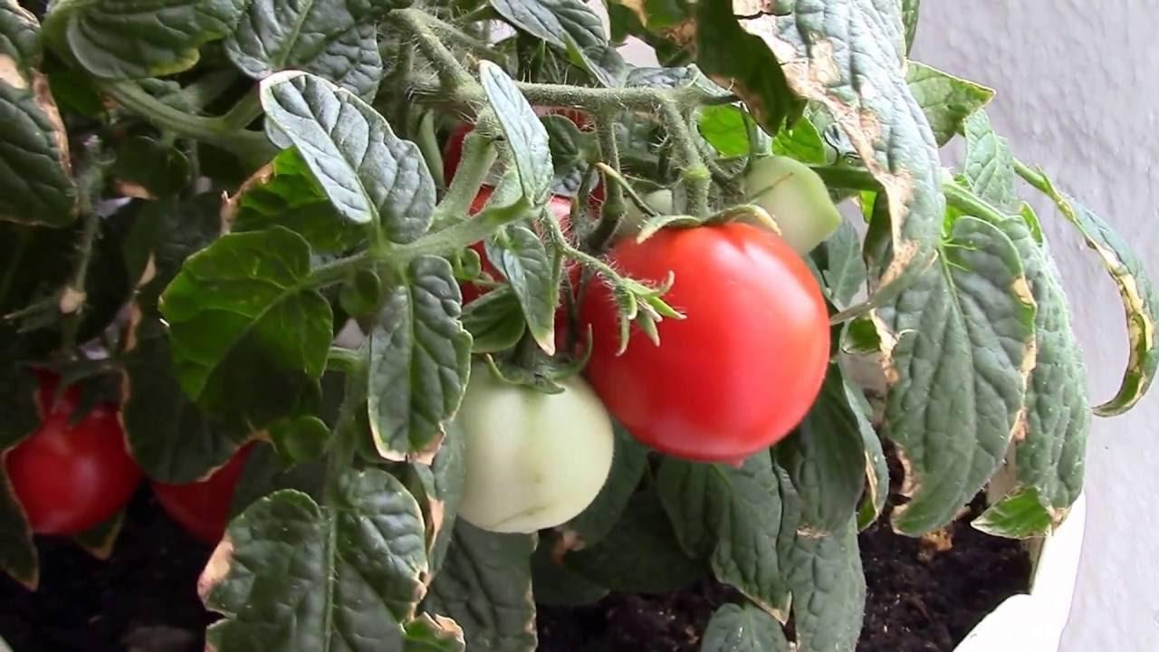 Выращивание помидор черный принц 84