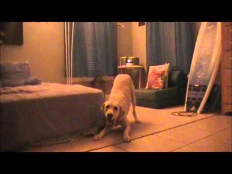 angry labrador dog!