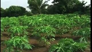 इस प्रकार करें पपीते की फसल की जैविक खेती