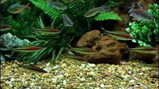 Aquarium video using Canon 60D DSLR camera