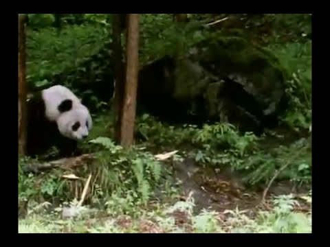 Oso Panda(Documental)Segunda Parte