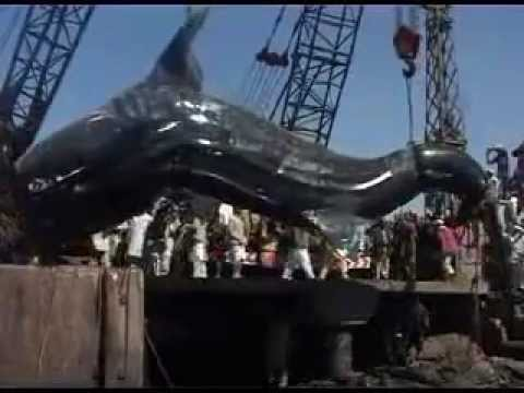 Ammizing Shark 40 feet Giant Whale Shark