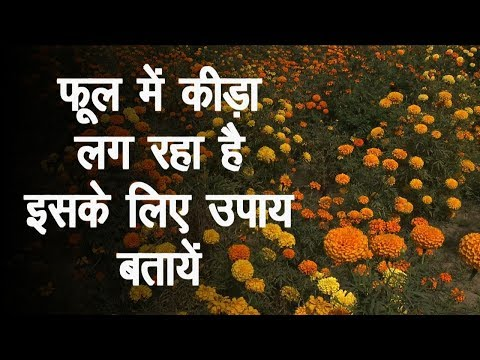 What is the remedy of Insects In Flower Farming Green TV