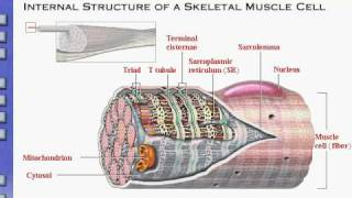Anatomy  Physiology Review of Skeletal Muscle Tissue
