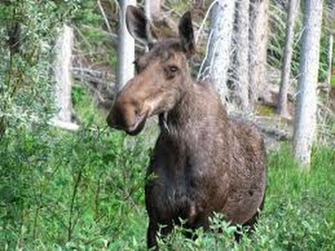 Moose charges mountain bikers