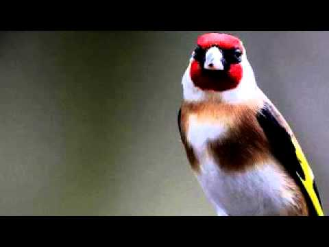 chant de chardonneret / goldfinch song