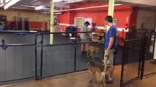 Dog Training   Kali struggles with dog aggression   Solid K9 Training Dog Training
