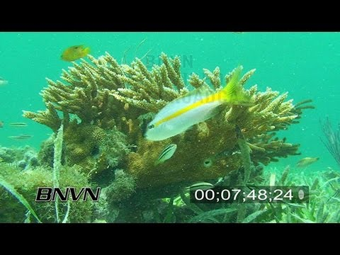 6/20/2007 Staghorn Coral stock footage