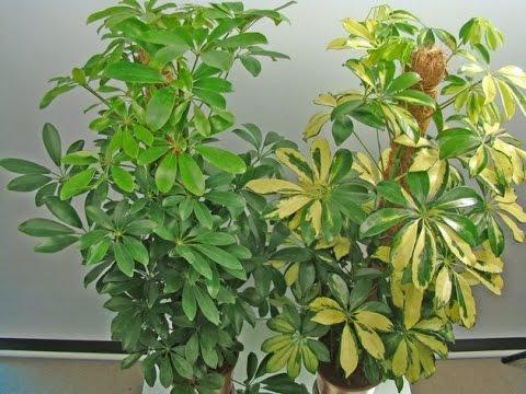Как ухаживать за шефлерой в домашних условиях если опадают листья