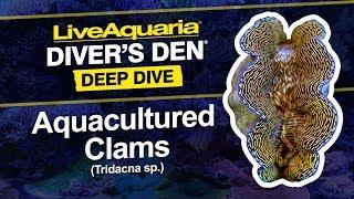 LiveAquaria® Diver's Den® Deep Dive: Aquacultured Clams (Tridacna sp.)