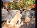 Turkish Dog Kangal - Strongest Dog in the World !!!