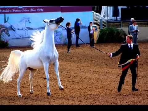 Scottsdale Arabian Classic Senior Gelding Championship 2014