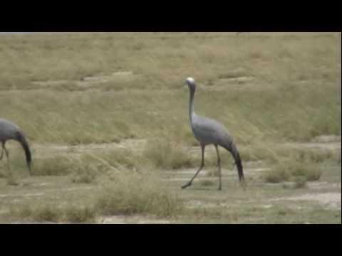 The Blue Crane - Etosha, Namibia