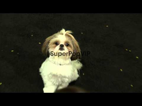 Bonny the ShihTzu at Seven Psychopaths Los Angeles Premie...