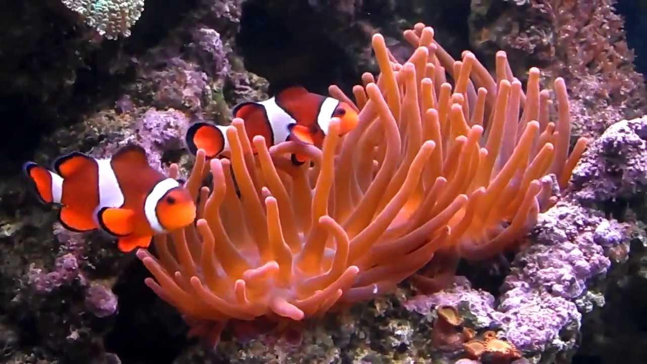 Finding nemo salt water fish tank nemo where are you - Aquarium nemo ...