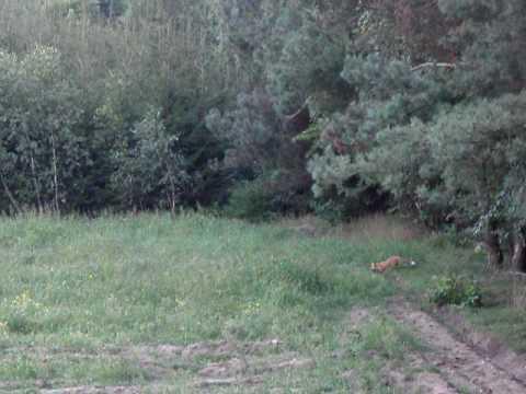 Lov lišky