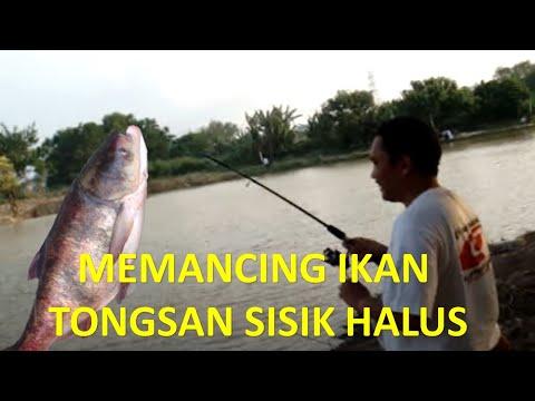 Mancing Ikan Mancing Ikan Tongsan di Desa