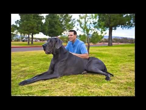 Le plus grand chien du monde - YouTube
