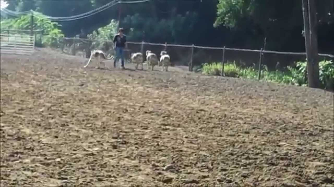 Watch How to Stop a Dog from Herding video