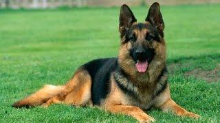 German Shepherd Training Tips