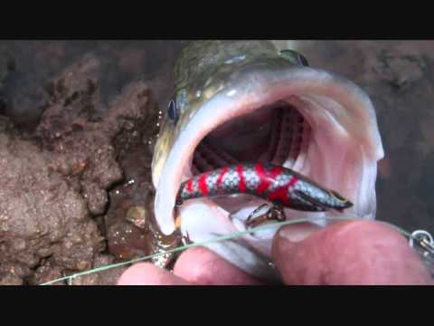 MURRAY COD FISHING ON LURES. 1mt+ cod swimming the shallows plus more