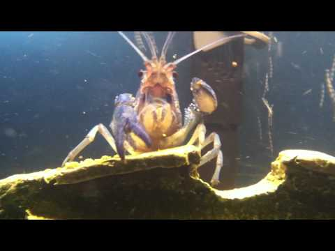 Electric Blue Crayfish Feeding   Freshwater Lobster