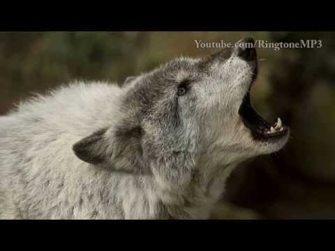 Wolf Howl - Ringtone Mp3 video