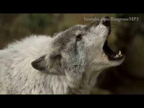 Wolf Howl - Ringtone Mp3