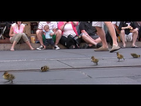 BABY DUCKS PARADE at DISNEYLAND, MAINSTREET USA