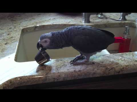Einstein the Parrot Percussionist performs The Cup Song