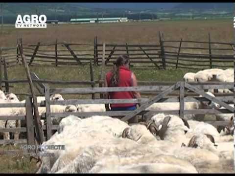 REPORTAJ VIDEO - Ciobanas cu 2000 de oi