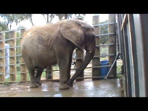 Mila / Jumbo African elephant has her daily warm water bath.mpg