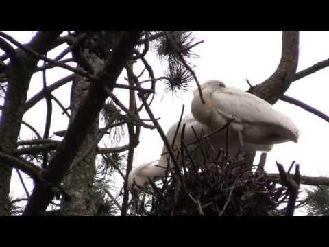 Photostories - Lepelaars bij de Sloterplas