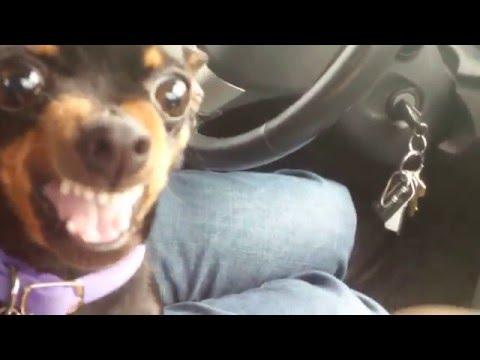 ボクにさわるなー!と威嚇する小さな可愛い犬