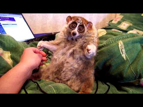Leniwiec luźny Lori
