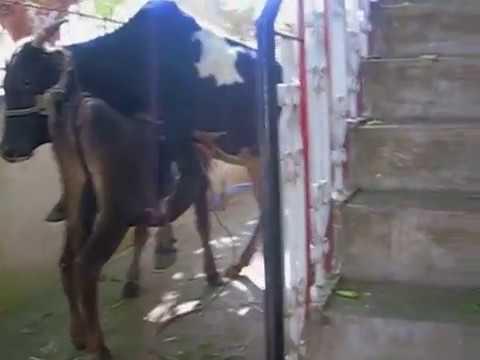 Mating Of Malnad Gidda Heifer With Gidda Bull 3 video
