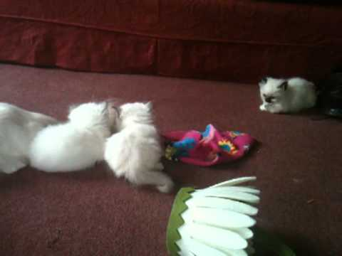 Birman kittens 5+ weeks