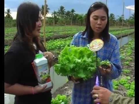 ผักกาดหอมราชบุรี3วันฟื้น
