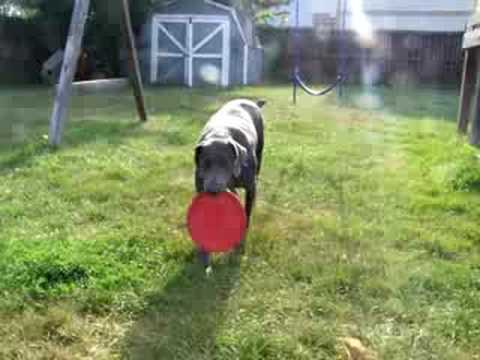 weimaraner how to teach two weimeraners to catch a frisbee