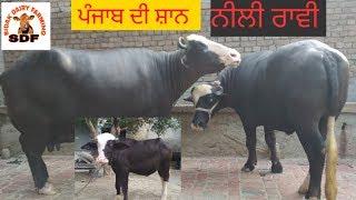 Neeli Ravi breed # ਪੰਜਾਬ ਦੀ ਸ਼ਾਨ # 21-07-2019