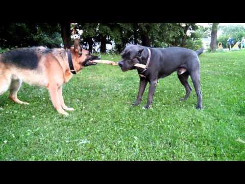 Кане Корсо и Немецкая овчарка 10 минут перетягивания палки