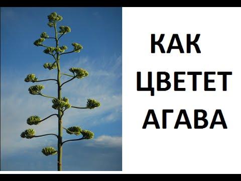 Как цветет агава  - прямо на нашей улице