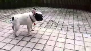 Teddy, el bulldog que se vuelve loco jugando bajo la lluvia