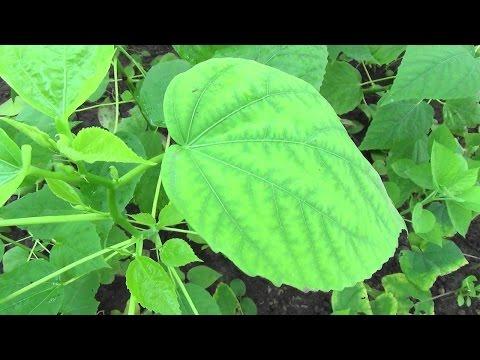 Хлороз листьев. Лечебный раствор делаем сами.