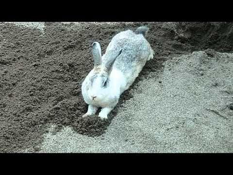 ウサギが寝床を整える可愛いしぐさ